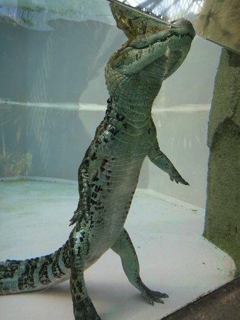 Atagawa Tropical & Alligator Garden : 立ち上がるワニ