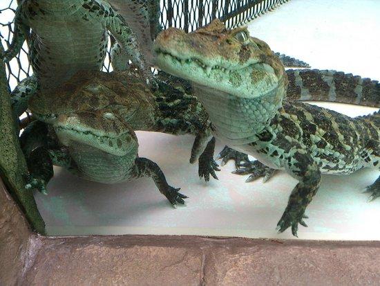 Atagawa Tropical & Alligator Garden : ワニたち