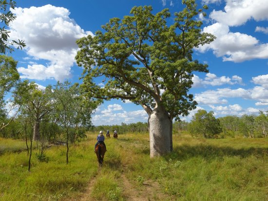 Digger's Rest Station : One of the boab trees on the property