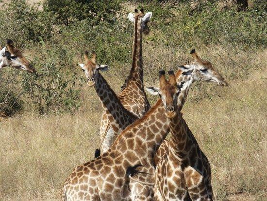 Umlani Bushcamp : great giraffe pic