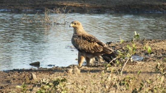 Umlani Bushcamp: Tawny Eagle
