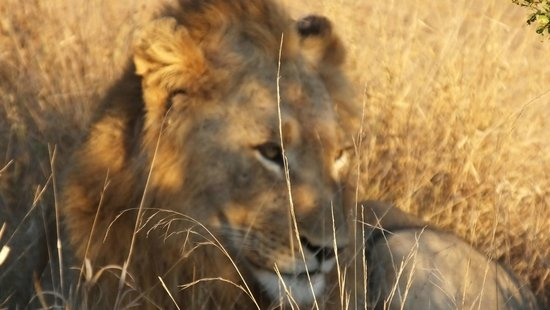 Umlani Bushcamp: 1 of the 3 male lion brothers