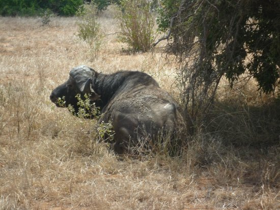 Kingi Safaris - Private Day Tours: Büffel am Camp