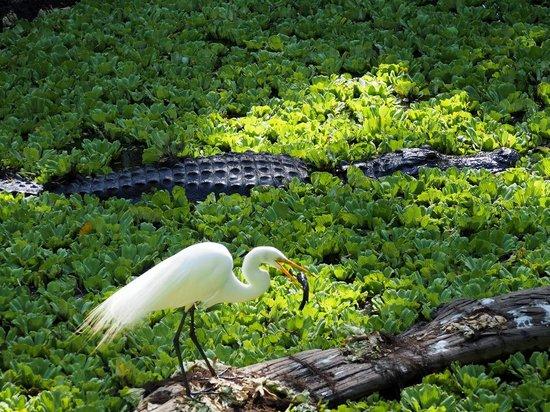 Corkscrew Swamp Sanctuary : Egret eating fish next to alligator