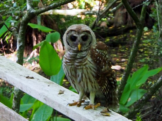 Corkscrew Swamp Sanctuary : Baby Barred Owl next to us on boardwalk