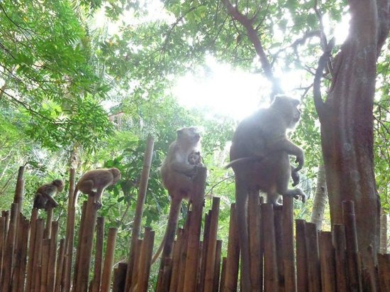 Railay Bay Resort & Spa: Local Monkeys