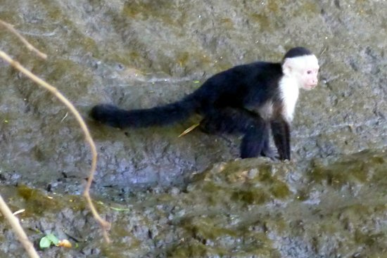Maleku Tours: Lots of white-faced monkeys around