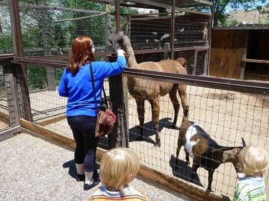 Casa Grande Trading Post & Petting Zoo : Sheared llama