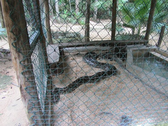 Aktun Chen: And this is a SHORT Burmese Python