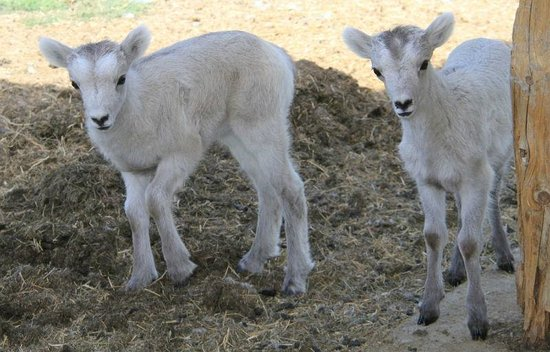 Yukon Wildlife Preserve : Dall sheep lambs on June 1st.