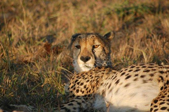 Thanda Safari : cheetah with full bellys