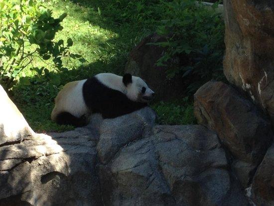 National Zoological Park : Panda sleeping. Shh!