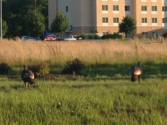 Fairfield Inn & Suites Millville Vineland : Side view of the hotel and these are wild turkeys!