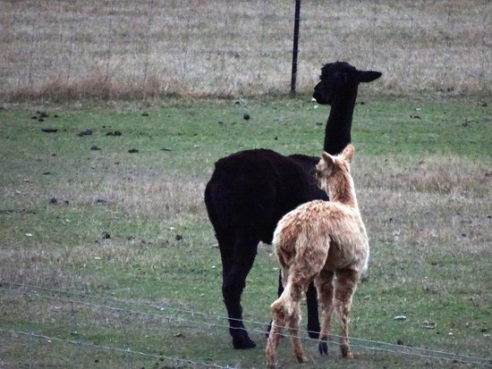 Willowbydowns Bed & Breakfast: Shy alpacas