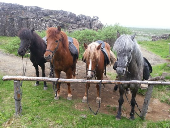 "Islenski Hesturinn, The Icelandic Horse - Riding Tours: The by far coolest way to ""park your car"" at Thingvellir"