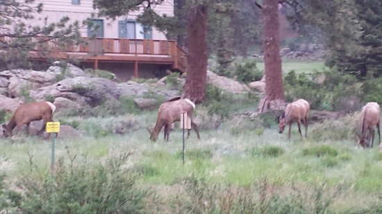 Alpine Trail Ridge Inn: Elk right outside our door!