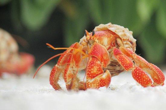 Makunudu Island : Bright hermit crab.