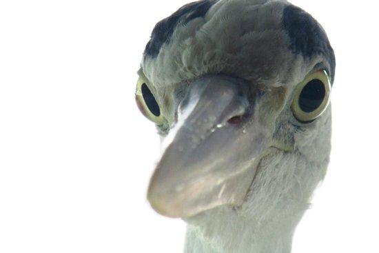 Makunudu Island : The heron, watching me eating my breakfast. :)