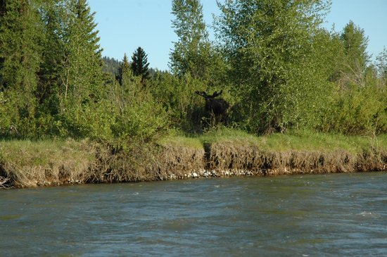 Solitude Float Trips: Moose on the Loose