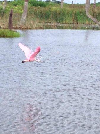 Ritch Grissom Memorial Wetlands: Pelican