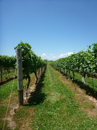 North Fork Bicycle Tours: The vineyards.
