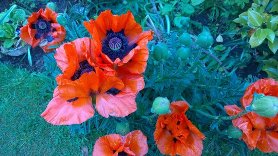 The Braighe Bed and Breakfast : Poppies in front garden