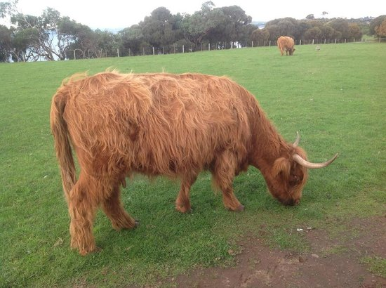 Longhorn Younique Tours: Highland cow