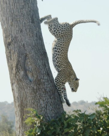 The Vuyani Safari Lodge : Leopard on a day trip to the  Kruger