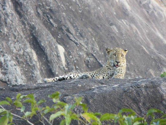 Cinnamon Wild Yala : leopard