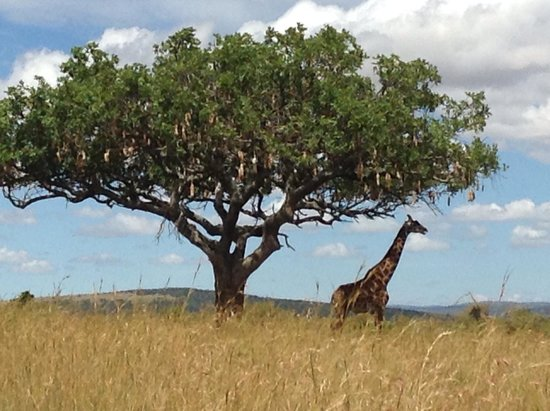 Oldarpoi Mara Camp: Giraffe standing majestically under the Oldarpoi tree- African sausage tree