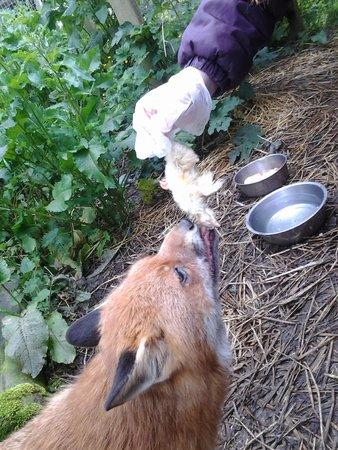 The Sancuary Wildlife Care Centre: feeding a fox!