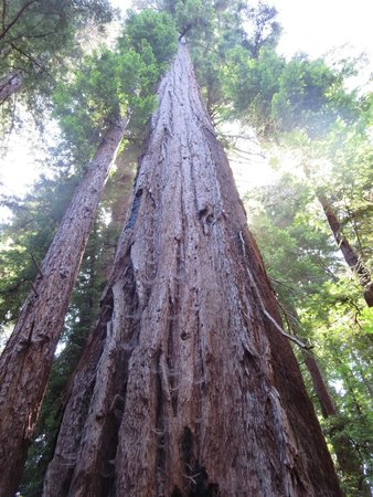 """Henry Cowell Redwoods State Park: Classic """"Big Tree"""" pic"""