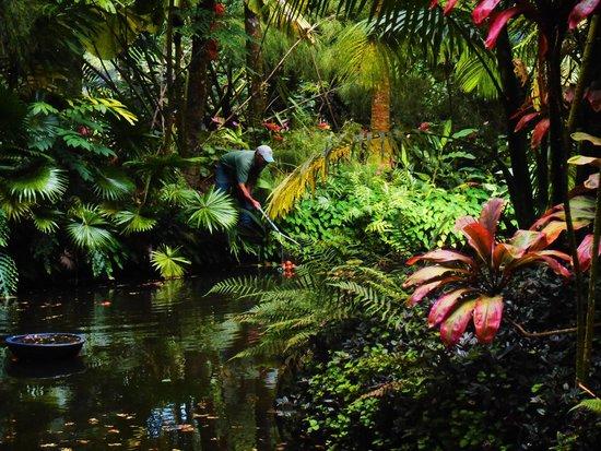 Hawaii Tropical Botanical Garden: Gradener extrodinaire working his magic.