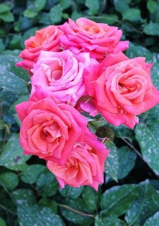 Eleonas : lovely roses and flowers all over the grounds