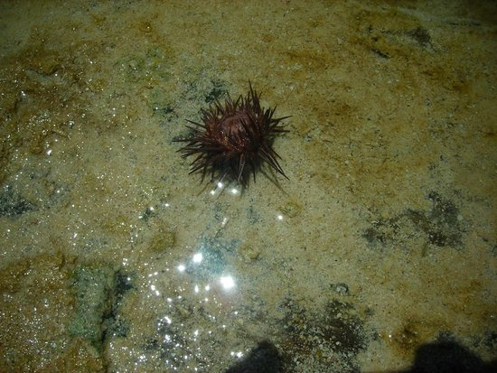 Carib Sands Beach Resort : Red sea urchin saw while snorkeling on Cayman Brac around pier at Carib Sands