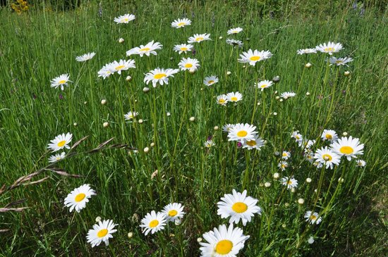 Carson Ridge Luxury Cabins : Daisies in the meadow