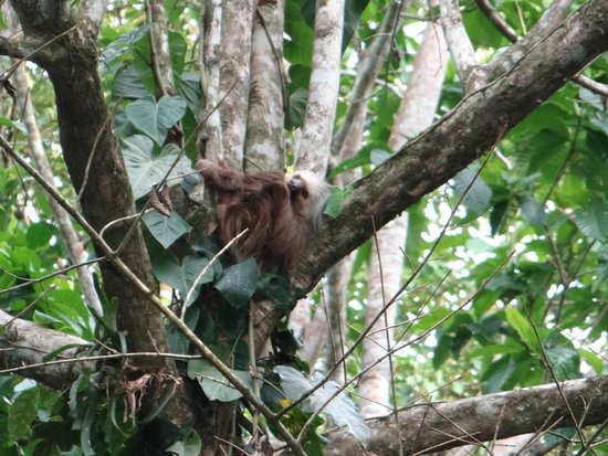 Pachamama Jungle River Lodge: Sloth in tree outside our casa