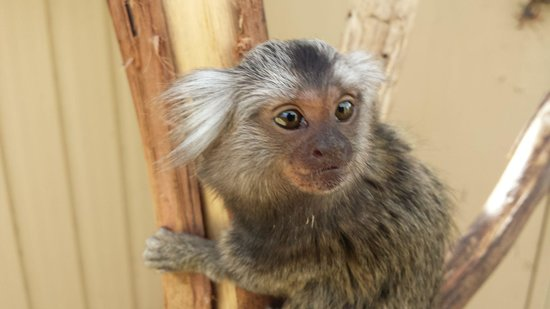 Zoodoo Zoo: marmoset monkey at zoodoo