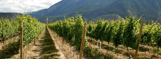 Fort Berens Estate Winery: Our vineyard in the summer