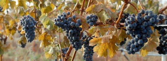 Fort Berens Estate Winery : Cabernet Franc just prior to harvest.