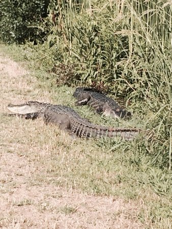 Inn at Middleton Place : Alligators near the lake by the rice fields
