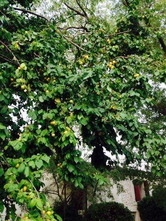 Mas des Micocouliers : Mirabelles in our garden for homemade jam