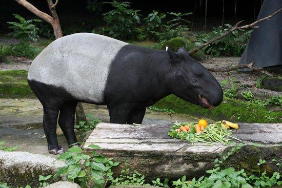 Singapore Zoo : тапир