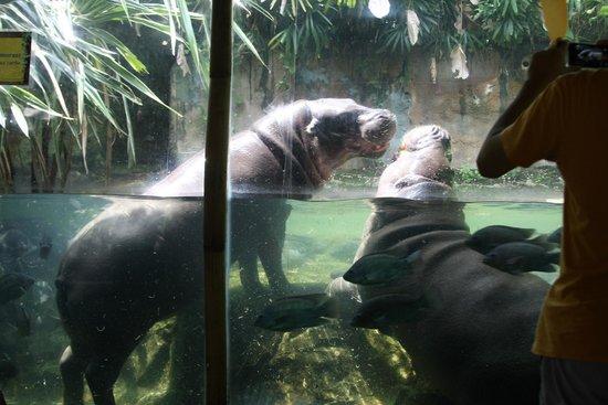 Singapore Zoo : Hippo
