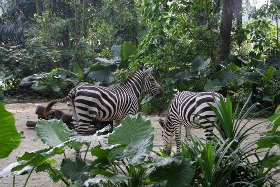 Singapore Zoo : Зебры