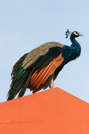 The Gateway Hotel Pasumalai Madurai : Peacock on roof
