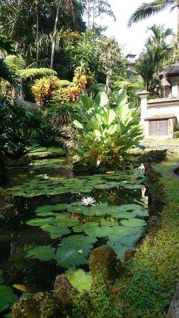 The Royal Pita Maha: 朝の散歩!蓮の花が咲いてました!