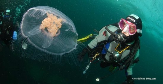 Ballstad, Norway: Lofoten Diving: jellyfish