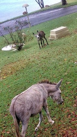 Caneel Bay Resort: donkey right off our patio. deer are roaming too