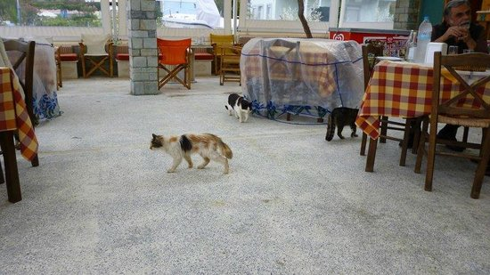 Petra Mare Village: cats at the terrace of restaurant on the beach
